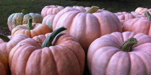 landscape-1476825643-e-and-j-stehenson-farms-pink-pumpkins-2012